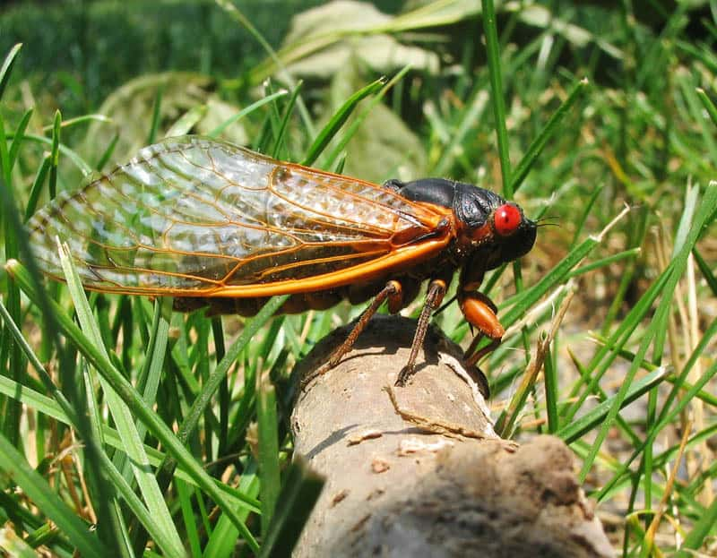A photo of a 17 year cicada, brood x. The cicada sits on a log with grass surrounding it. It has orange wings, a black body, and red eyes.