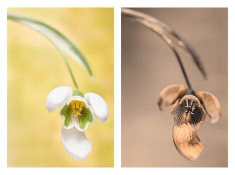 a side by side comparison of a snowdrop photo, the left taken with a normal camera in color and the right taken with a UV camera.