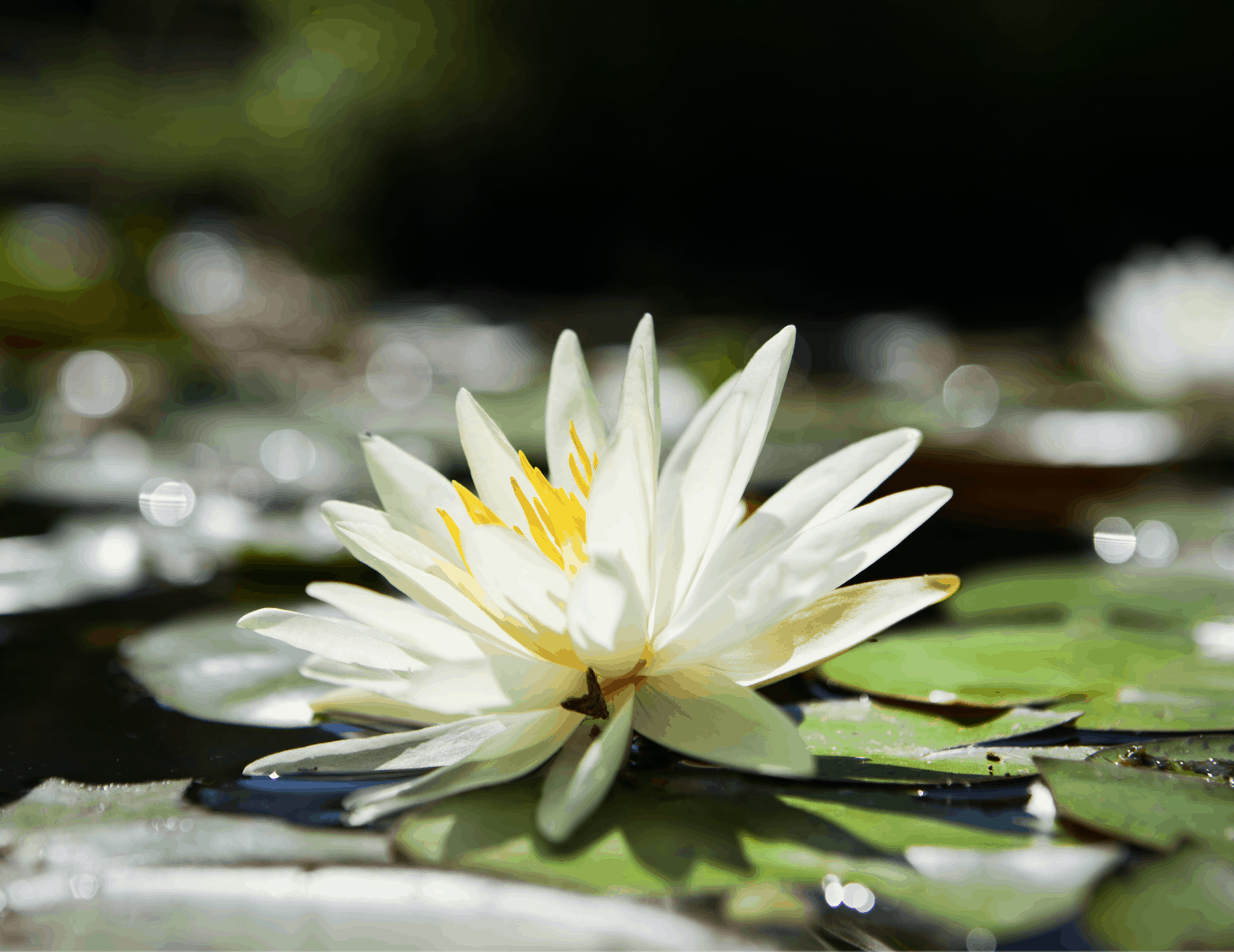 a close up photo of a white water lily bathed in light.