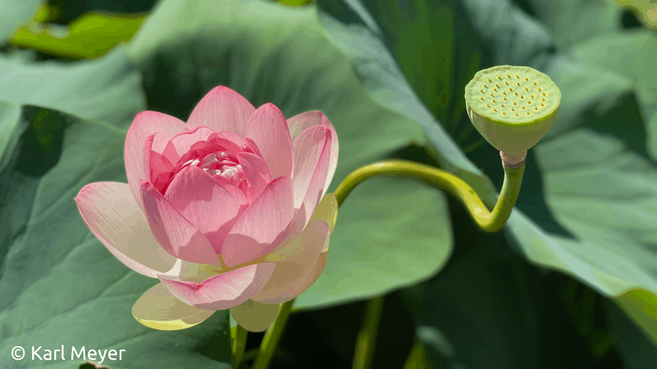 Photo of a pink lotus bloom and green lotus seed pod in a lotus leaf background. Photo by Karl Meyer.