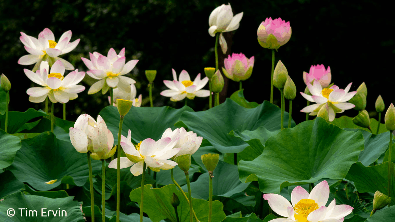 Photo of Manchurian lotus with a dark background. Image by Tim Ervin.