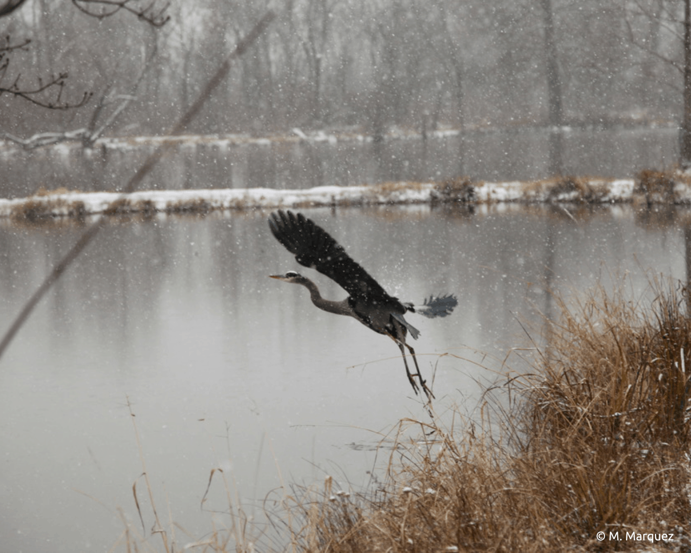 photo of a great blue heron taking off into flight as it begins to snow. There is an icy grey pond behind.
